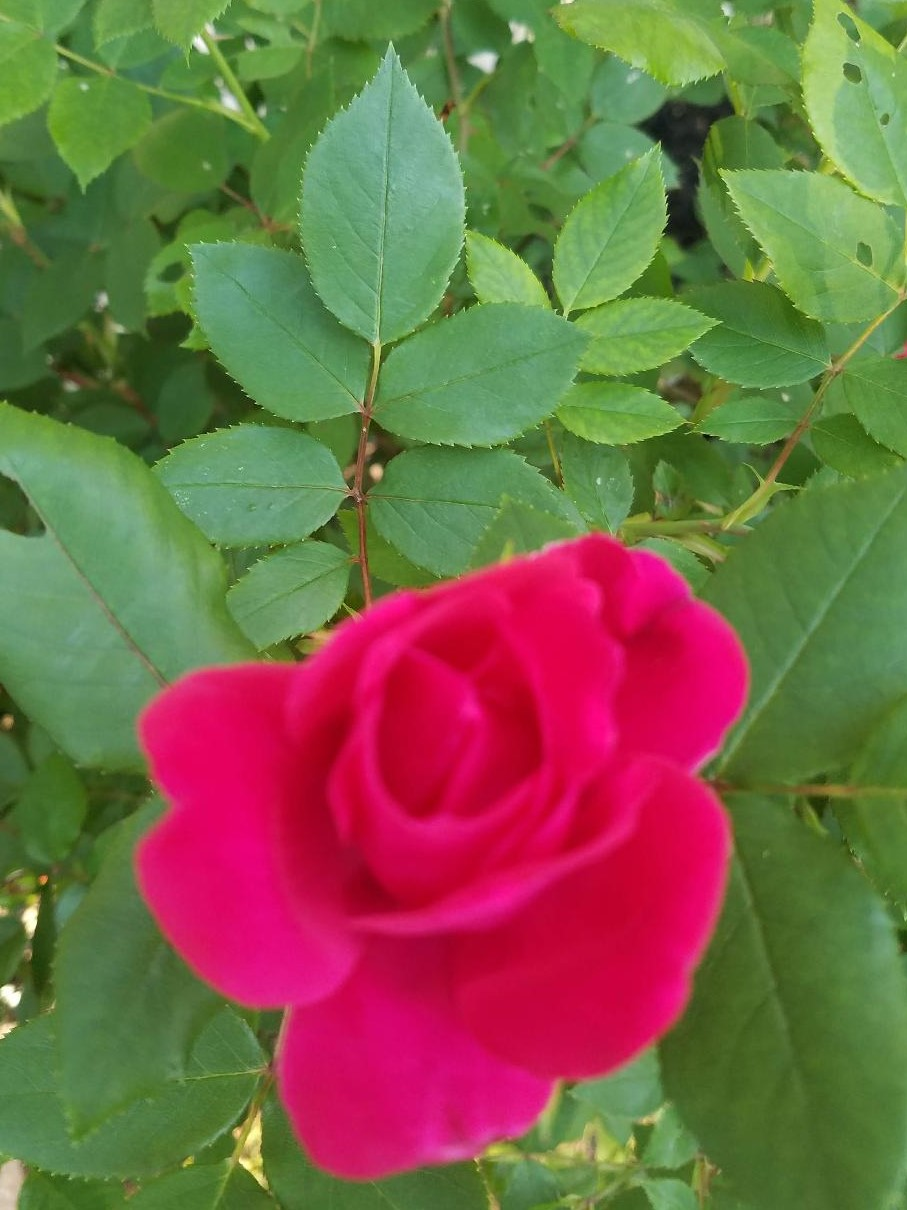 Diane's Red Rose