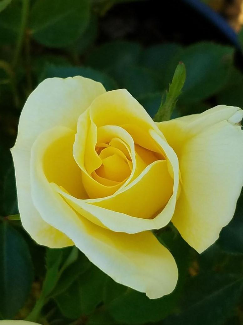 Diane's rose